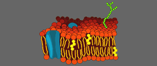 Anatomy Cell membrane